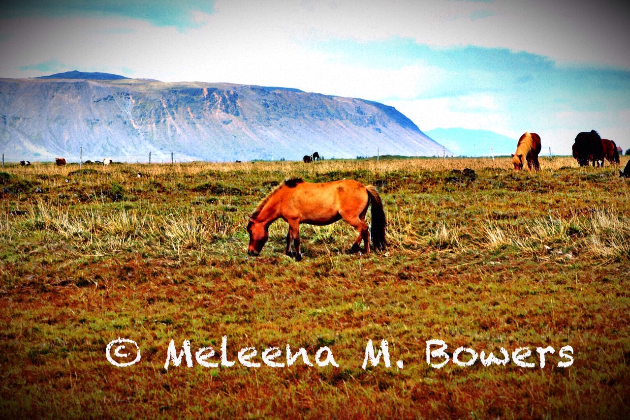 Icelandic horses perform five gaits naturally.